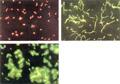 cells-lg.jpg