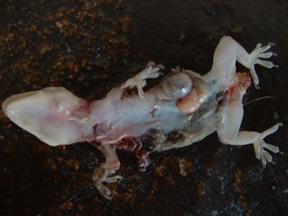 dead-gekko.jpg